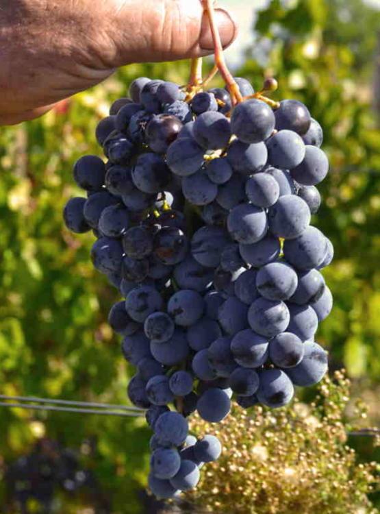Dalmatian Dog crna vina počivaju na sorti babić u varijacijama od rosea, laganijih crnjaka pa do složenih i specifičnih odležanih ispod površine mora i obraslim koraljima coral