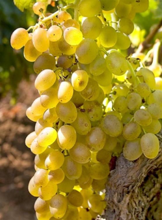 Grozd pošipa u našem vinogradu u Smokvici na otoku Korčuli