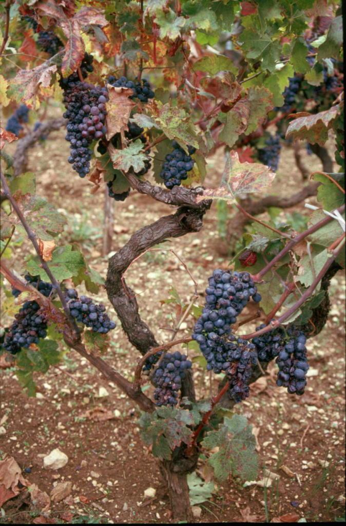 2001. u vinogradu Ivice Radunića u Kaštel Novom, pronađen je prvi trs s identičnim DNK-om kao kod zinfandela.