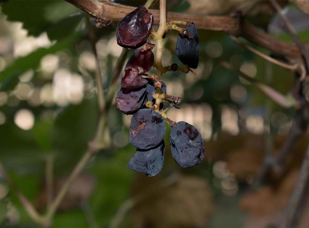 Najstarija metoda sušenja je kad grožđe ostaje visiti s odrezanim krakom vinove loze ili  uvijenom stabljikom .