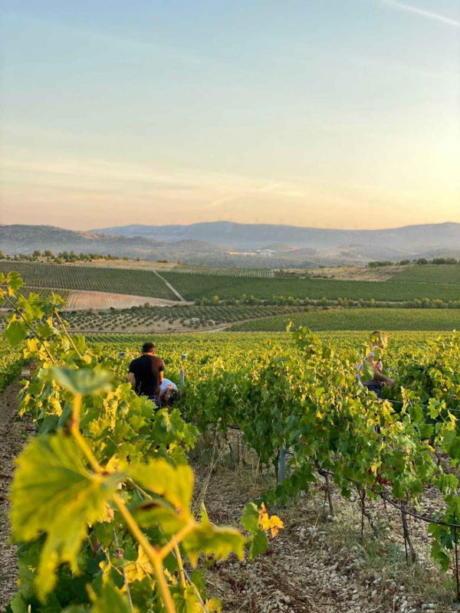 Berba je vrhunac godine u vinogradu