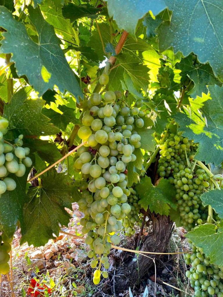 Najvažnije je odrediti kada je grožđe zrelo za berbu